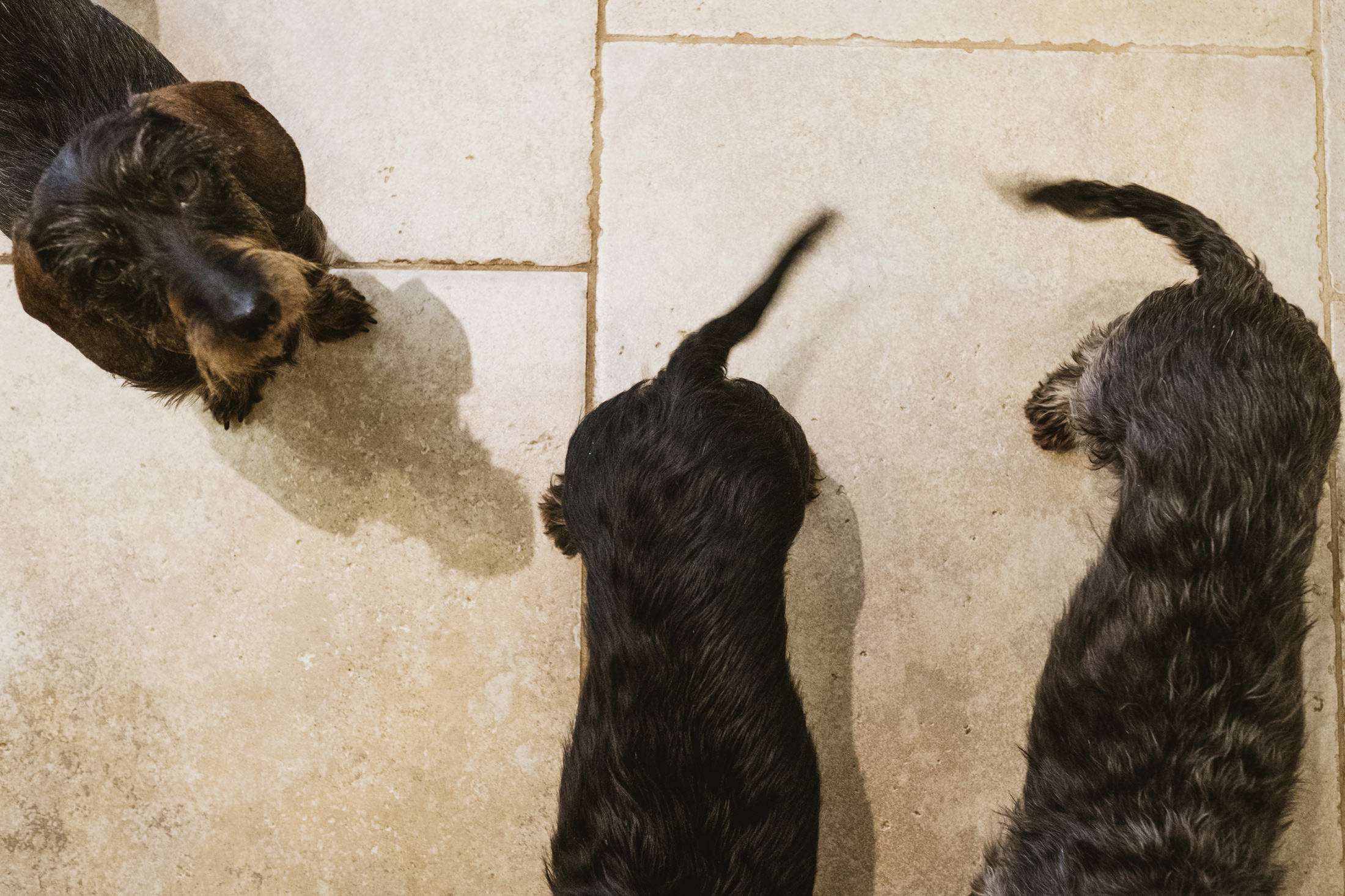 three dogs, two dogs wagging their tails